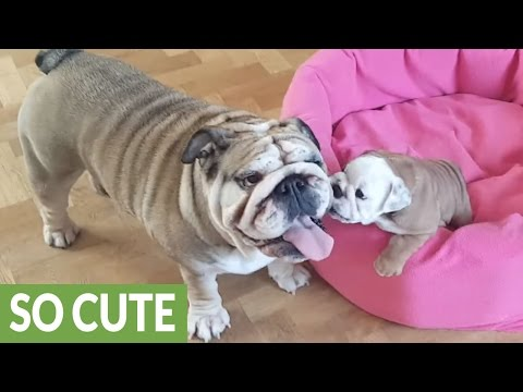 Bulldog mom preciously entertains her puppy