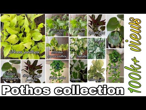 Varieties of Money Plant/ pothos types & Care/EPIPREMNUM AUREUM/Pothos collection
