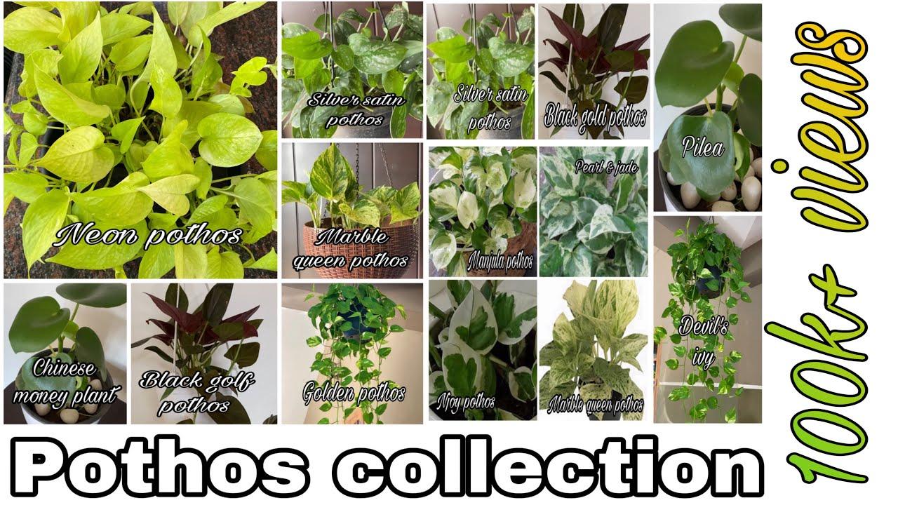Varieties Of Money Plant Pothos Types Care Epipremnum Aureum Pothos Collection Youtube