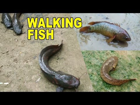 Walking Fish That Walks On Land