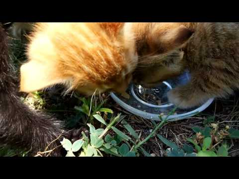 Cute Feral Kittens eating from same plate