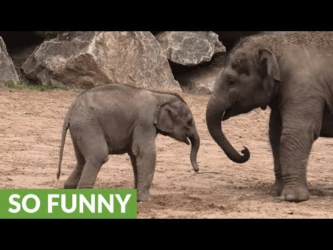 Baby elephant gets knocked around by bully big brother