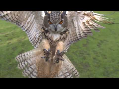 Download Youtube: Eagle owl in flight high speed camera AMAZING slow  motion camera