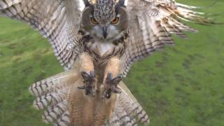 Eagle owl in flight high speed camera AMAZING slow  motion camera This by bar has got to be the greatest video work i have seen, i can watch this for hours. visit www.turbarywoods.co.uk for more information.