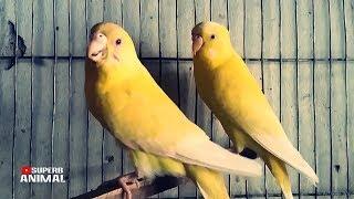 Budgerigar Bird Activity | Budgerigar Bird Breeding | Bird Sound | Budgerigar Bird In Bangladesh