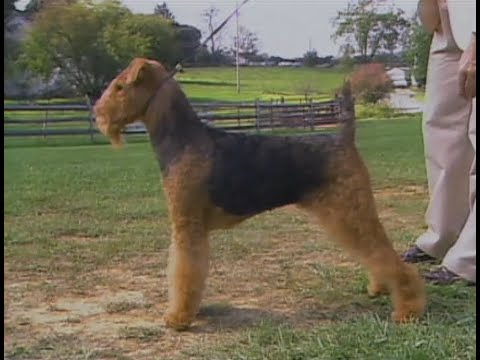 Airedale Terrier - AKC Dog breed series