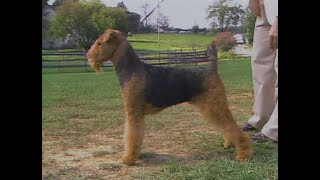 Airedale Terrier  AKC Dog breed series