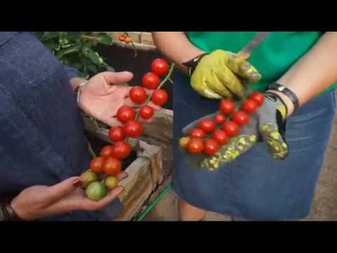 Bandymų stotis: pomidorų veislės ir jų ypatybės | Augink lengviau!