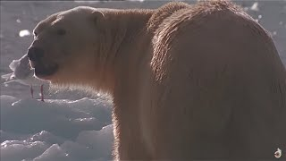 Be A Predator : Poles - Animals Documentary
