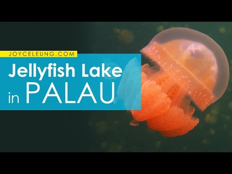 Swim with Jellyfish in Jellyfish Lake (Palau)
