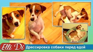 Дрессировка собаки перед едой, пятиминутная дрессировка собаки с Elli Di.