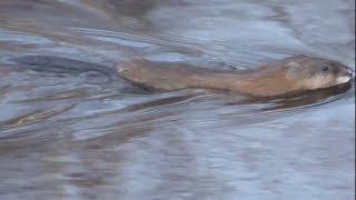 Речная ондатра