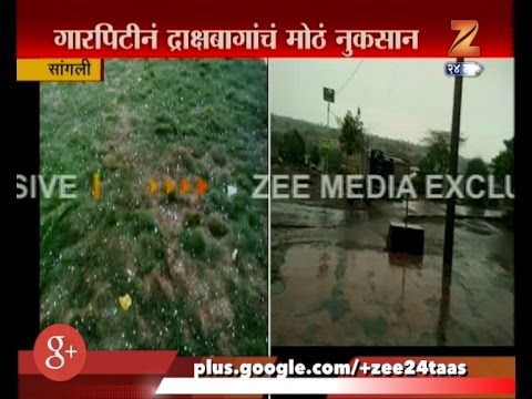 Sangli   Untimely Rain And Hailstorm   Damages Crop And Grapes