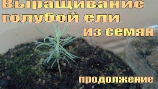 видео Как вырастить голубую ель из семян, стратификация, как поадить