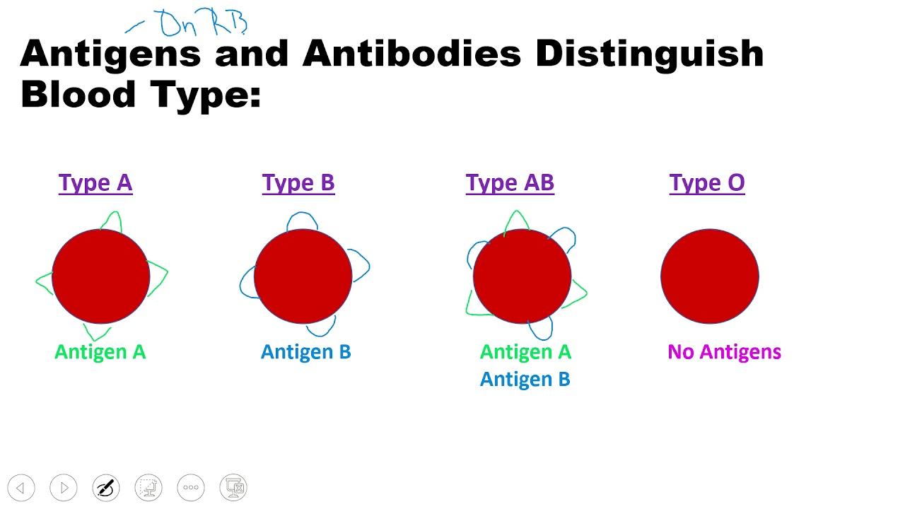 Human Circulatory System Pt 4 Blood Typing - YouTube