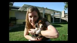 Cute Beagle Puppy Growing Up