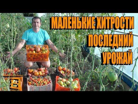 Выращивание помидоров в теплице: схема и секреты успеха