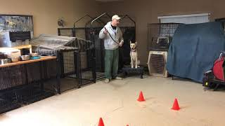 Las Vegas Dog Training|Carolina Dog heel work and tool chat