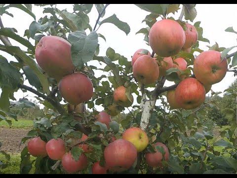 Диамент, Антей зимние сорта яблок белорусской селекции.