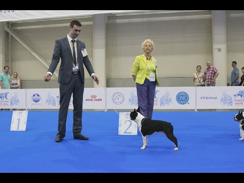 World Dog Show 2016 Moscow, Boston Terrier