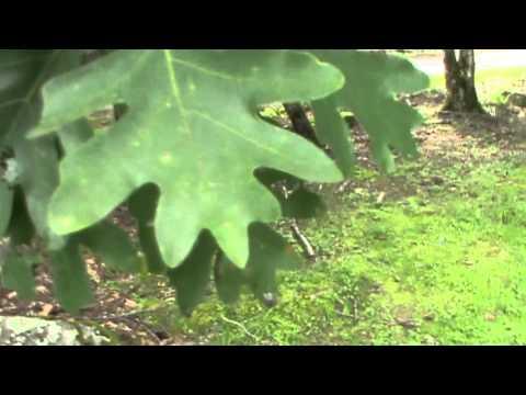 White Oak ( Quercus Alba) identification video