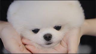 울보 강아지  강아지 눈물 관리 이렇게 합니다