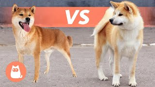 Differences Between SHIBA INU and AKITA INU  Breed Comparison