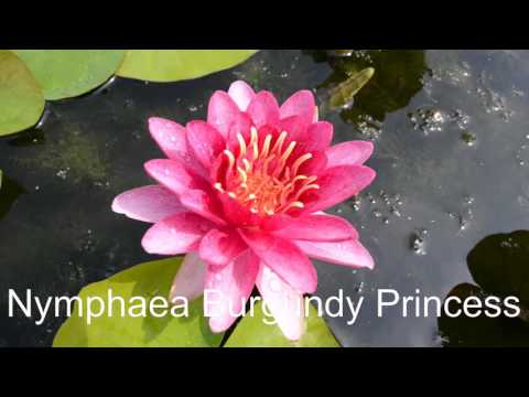 Nymphaea Burgundy Princess