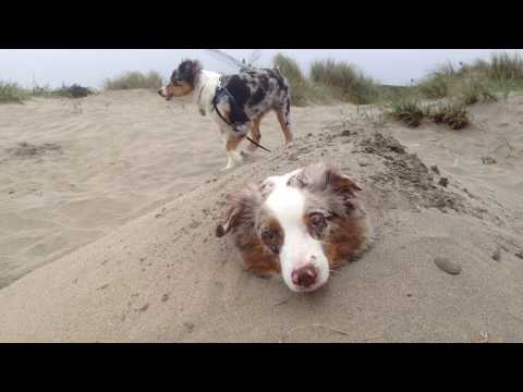 Hiking with Two Australian shepherd