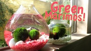 Video How To Keep Your Marimo Green for FREE + GIVEAWAY! *Entry Closed* download MP3, 3GP, MP4, WEBM, AVI, FLV Oktober 2018