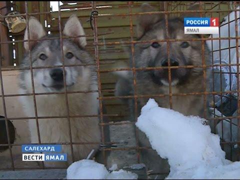 Как западно-сибирские лайки завоевывают сердца своих хозяев