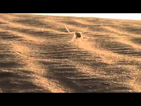 Cart wheeling spider inspires robot for Mars | Cartwheeling Spider Found, Inspires New Robot