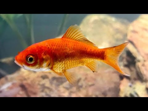 Top 5 Common Myths About Goldfish Pregnancy | Animal Beast