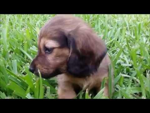 Royalworth's Sparkling Bandit - An English Cream Long Hair Miniature Dachshund Male Puppy