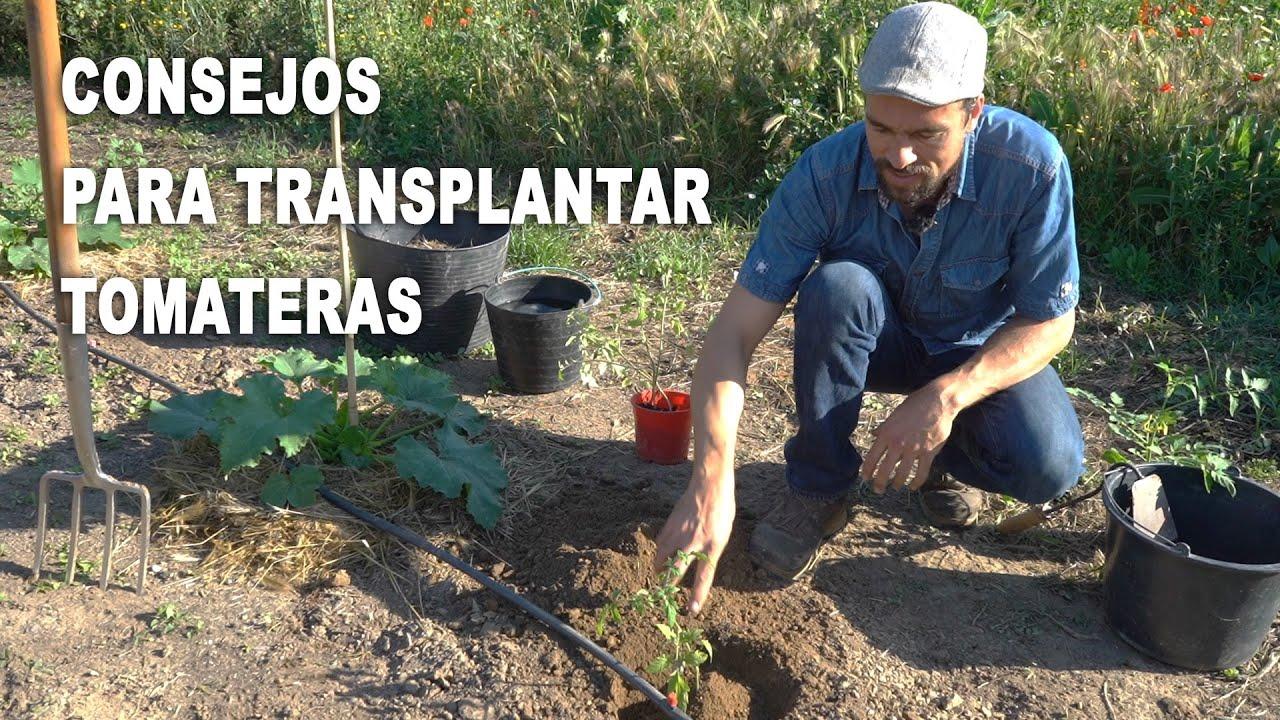 Consejos para trasplantar tomateras