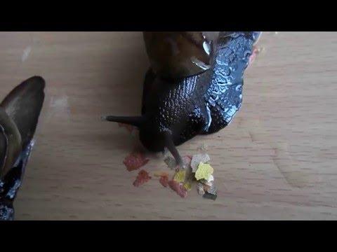 Ślimaki Afrykańskie - karmienie płatkami (African Snail - feeding) Achatina Fulica