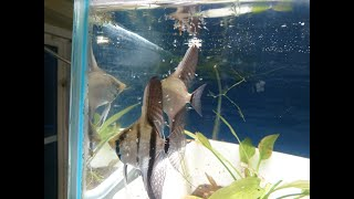Angelfish parental care and a quick update of the fish room