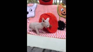 Hairless Sphynx Kitten Halloween Kitty!