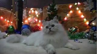 Британский длинношерстный кот  на british-chinchilla.dp.ua