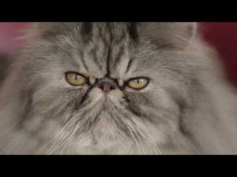 The Persian | Royal Canin Feline Breed Nutrition