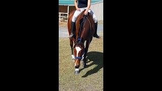 GOLDY RIDDEN OUT AND ABOUT BAREBACK HALTER & LEAD