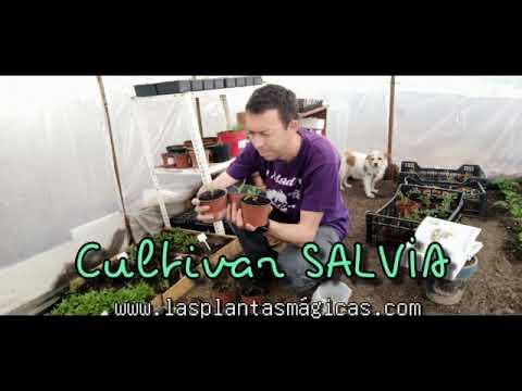Como Cultivar SALVIA (Video)