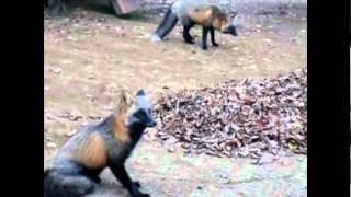 Wild Cross Foxes