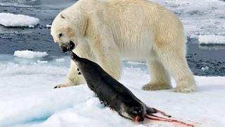 Нашествие Полярных медведей. Самые опасные хищники на земле - Документальный фильм 2017