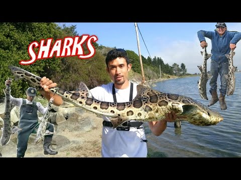 Leopard Shark Fishing. 12 Sharks, 1 Ray, 1 Day All Between 48-55 Inches Long!