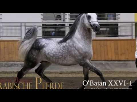 O'Bajan XXVI-1 Europe Champion stallion 2016 Stadl-Paura