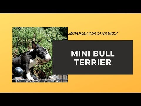Bull Terrier Gabi, all about raising such breeds of dogs as the Bull Terrier.