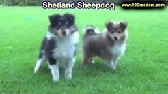 Shetland Sheepdog, Puppies, Dogs, For Sale, In Miami, Florida, FL, 19Breeders, Tallahassee