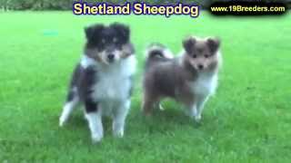 Shetland Sheepdog, Puppies, For, Sale, In, Albuquerque, New Mexico, Nm, Gallup, Carlsbad, Alamogordo
