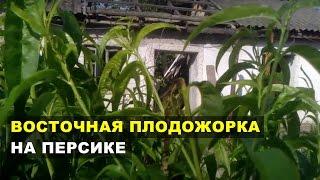 видео Восточная плодожорка